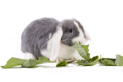 Young mini-lop rabbit eating leaves. Young mini-lop rabbit eating dandelion leaves Royalty Free Stock Photography