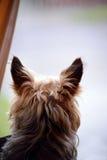 Young mini yorkie dog Royalty Free Stock Photo