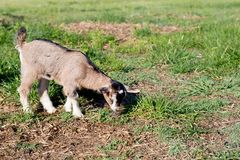 Young miniature goat kid in field Royalty Free Stock Images