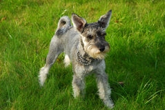 Young miniature schnauzer on grass Royalty Free Stock Photo