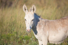 Young miniature spotted donkey royalty free stock photo