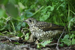 A young mistle thrush. Royalty Free Stock Images