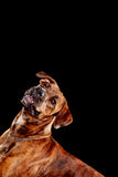 Young mixed-breed / boxer dog looking up on black background Stock Photos