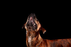Young mixed-breed / boxer dog looking up on black background Stock Images