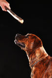 Young mixed-breed / boxer dog with a stick Stock Image