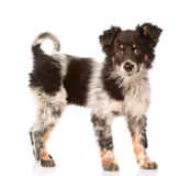 Young mixed breed dog in full height. isolated on white Stock Photos