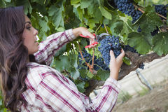 Young Mixed Race Woman Harvesting Grapes in Vineyard Royalty Free Stock Images