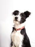 Young mixedbreed dog Royalty Free Stock Photography