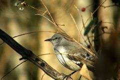 Young Mocking Bird Stock Photography