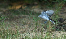 Young Mockingbird in flight Royalty Free Stock Photos