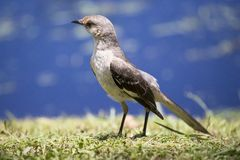 Young mockingbird with blue background. Young mockingbird looking for food with blue background royalty free stock images