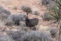 Young Mojave Desert Deer. Young deer in Red Rock Canyon National Conservation Area near Las Vegas, Nevada Royalty Free Stock Image