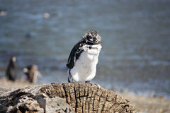 Young molting penguin Stock Photography