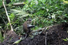 Young mona monkey stock images