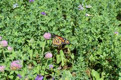 Monarch butterfly on red clover in a meadow. A young monarch butterfly resting on a red clover blossom in a meadow with alfalfa. Late summer stock images