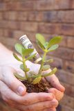 Young money tree in hands Royalty Free Stock Photo