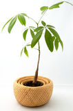 A Young Money Tree (Pachira). A Young Money Tree sits in a basket on an isolated background. (pachira aquatica stock image