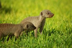 Young mongoose Royalty Free Stock Photography