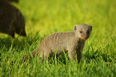 Young mongoose Stock Photos
