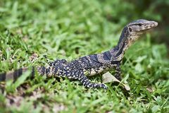 Young monitor lizard at Lumpini Park, Bangkok stock image