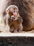 young monkey Royalty Free Stock Photography