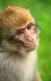 Young Monkey. With some cereals in the mouth stock images