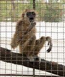 Young monkey in a cage in a zoo in Pattaya in the afternoon Stock Photo