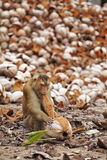 Young monkey and coconut. In thailand Royalty Free Stock Photo