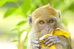 Young monkey eating banana Stock Photography