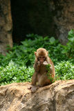 Young monkey eating plant. Young monkey sat on boulder eating plant with green vegetation in background Royalty Free Stock Photos