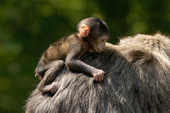 Young Monkey hanging on. A young Barbary Macaque monkey being carried by his father. They are found mainly in Algeria and Morocco Stock Photos