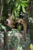 Young monkey sapajus apella hanging on a tree branch inside the State Park in Brazil stock photo