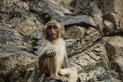 Young monkey with large, expressive eyes sitting on stones. Leaning on the paw royalty free stock photography