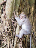 Young monkey learning to climb Royalty Free Stock Photos