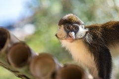 Ape Monkey. Young monkey looking. Ape face royalty free stock photos