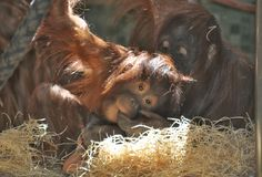 Young monkey with mother Stock Photo