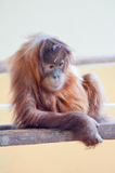 Young Monkey Orang-Outang Stock Photo