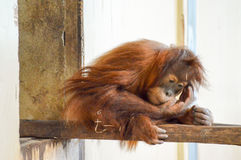 Young Monkey Orang-Outang Stock Photography
