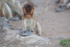 Young monkey plays with a metal object on the ground near a Temple in Ayutthaya Thailand Royalty Free Stock Photography