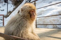Young Monkey Portrait royalty free stock photography