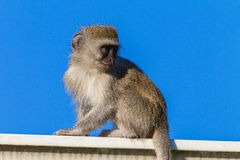 Young Monkey Roof Animal Blue Royalty Free Stock Photography