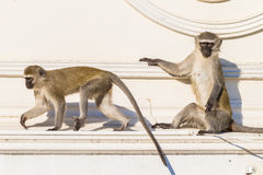 Monkeys Two Roof Animals Royalty Free Stock Image