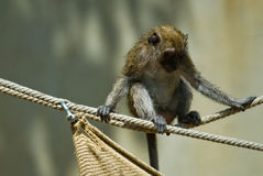 Young monkey on a rope Royalty Free Stock Image