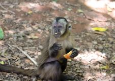 Young monkey Sapajus sitting on the floor eating apple royalty free stock photography