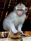 Young Monkey Stock Image