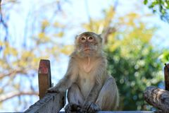 A young monkey sits on the roof and looks up royalty free stock image