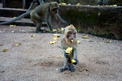 Young monkey sitting on the ground and eating banana royalty free stock images
