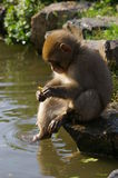 Young monkey sitting by a pond. A young macaque monkey sitting by a pond with a peanut stock photos