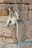 Young Monkey Sitting on Wall. A young monkey sits on the side of Phra Prang Sam Yord temple, or monkey temple in Lopburi, northern Thailand Stock Photography