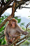 Young Monkey on the tree. In Hong Kong Royalty Free Stock Image